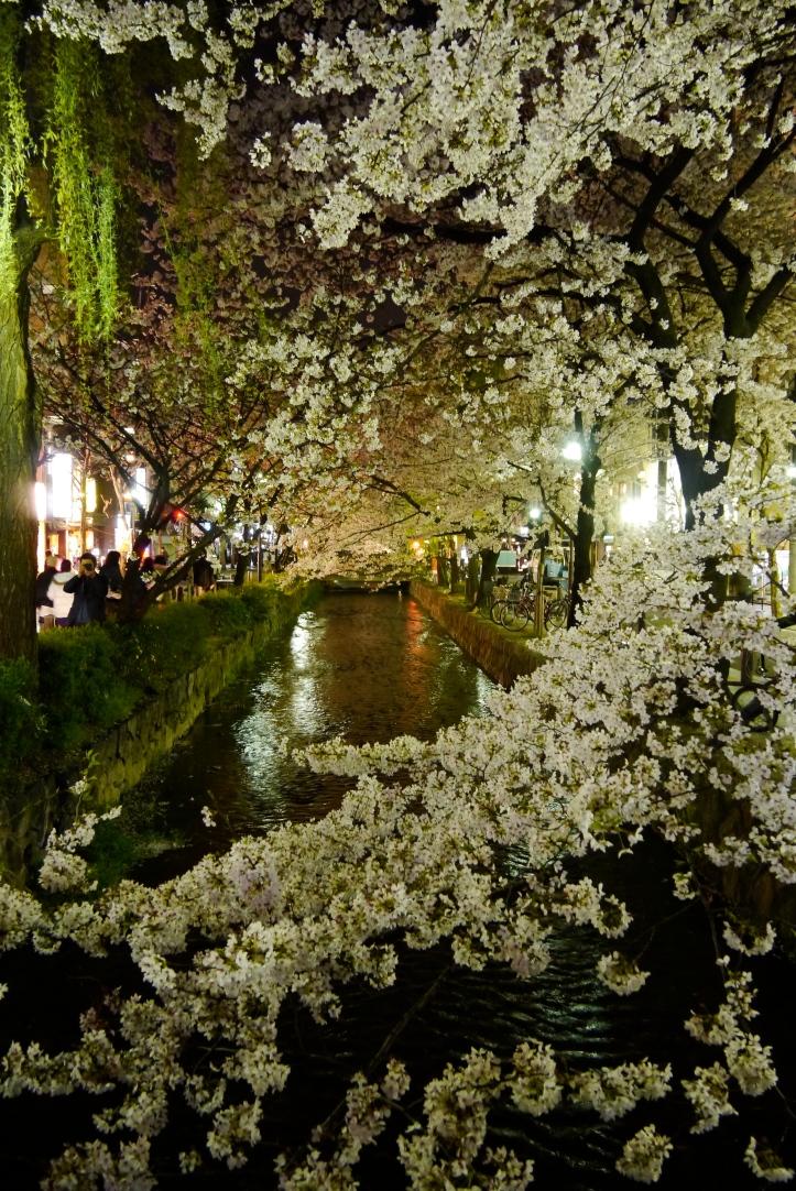 京都高瀨川 夜櫻