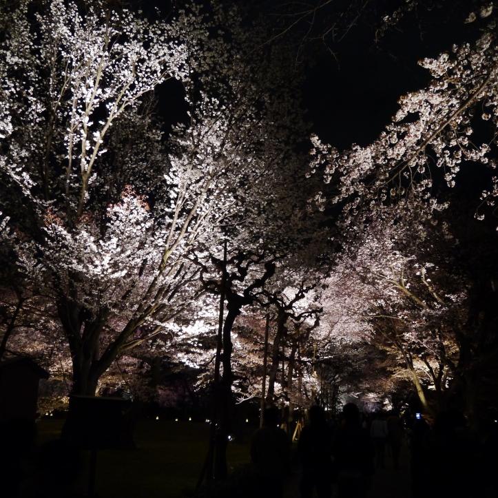 京都二條城 夜櫻
